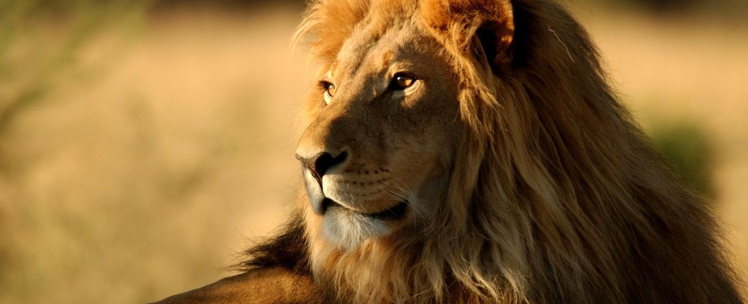 See the majestic lion at the Nashville Zoo at Grassmere